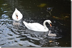 White swans and cygnet