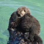 Otter-pup-closeup.jpg