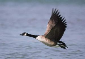 Goose Flying Over Water