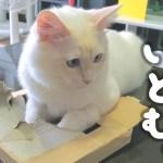 【厚さ2cm】子猫、うっすい箱にどうしても入りたい模様【はがね&しろがね】[ゲーム実況by癒しのあいろん雑学ゲーム実況]