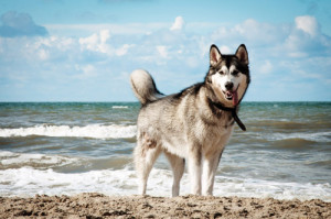 stockvault-siberian-husky-dog-on-beach131807