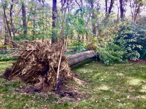 Large tree fallen over in a yard. The roots of the tree are exposed as the full tree fell.