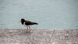 Oyster Catcher, Breakwater Country Park