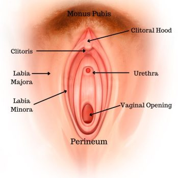 Image of a vulva with the name of each part and an arrow pointing to where it is located on the image. Part of Lichen Sclerosus Basics is knowing your anatomy!