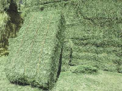 American Alfalfa Lucern Hay for sale. We supply Natural Cattle Alfalfa Hay. How much Lucerne hay to feed a horse?Wholesale Alfalfa Hay for Animal Feeding 2