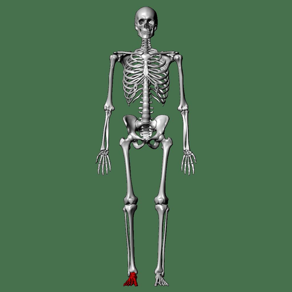 Joints Quiz Anatomy