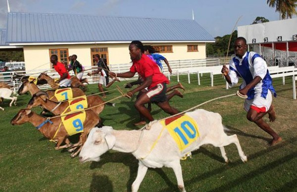 goat-racing-buccoo-tobago