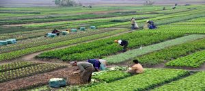 lih farming 1