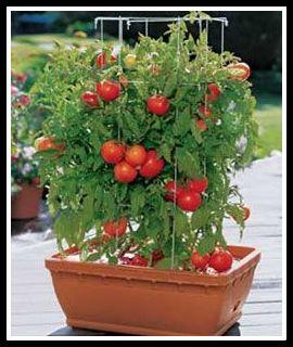 tomate cereja - COMO FAZER SUA HORTA EM CASA