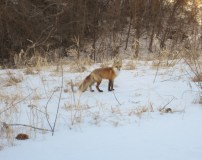 Red Fox Jan 31 2016 (1)