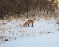 Red Fox Jan 31 2016 (1)