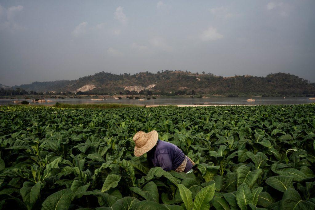 Nông dân trồng cây thuốc lá bên bờ sông Mekong, gần Sangkhom, Thái Lan. Ảnh: The New York Times.