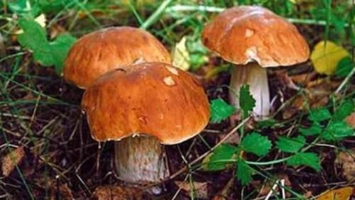 Лесные красавцы. Подосиновики