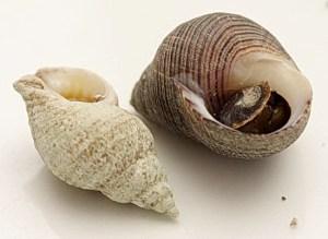 Моллюск трубач