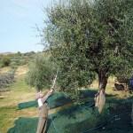 高い枝になったオリーブの収穫は骨が折れます