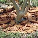 オリーブの木の根元
