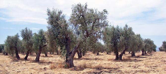 マイアーティカのオリーブ畑