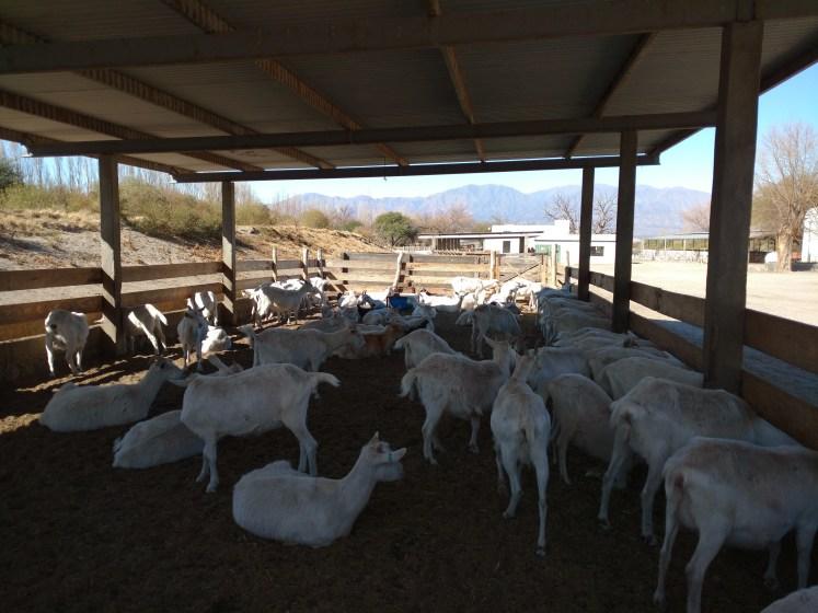 Cabras en el corral Cabras de Cafayate