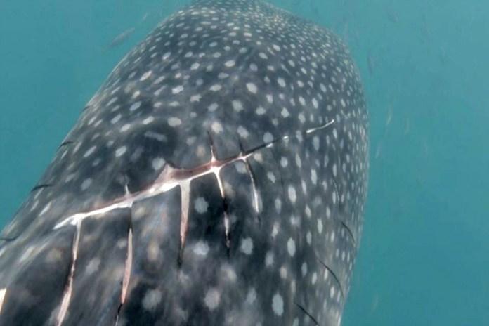 Advierten masacre a tiburones ballena