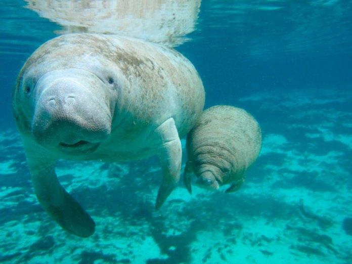Promueven la conservación del manatí