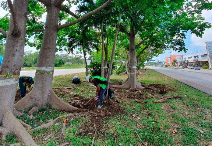 Comenzó Fonatur reubicación de árboles por obras de Tren