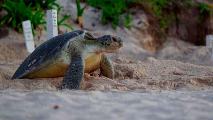 Afectará uso de suelo a Santuario de Tortuga en Tulum, alertan
