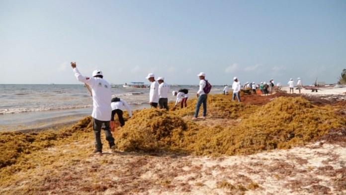 Aprovechar el sargazo, plantea el CCE del Caribe