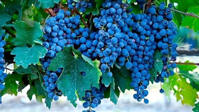 Cabernet Sauvignon: la uva más querida del mundo