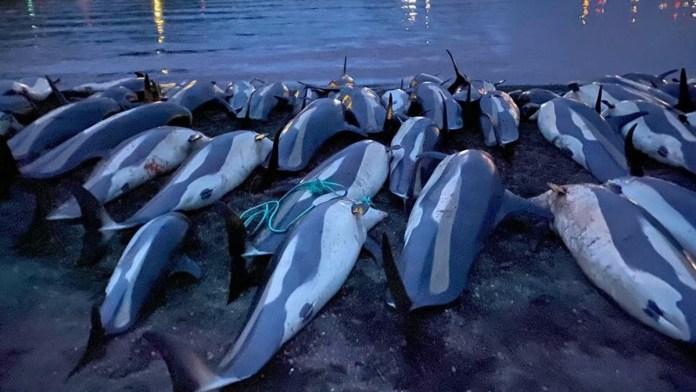 'Revisará' Islas Feroe la matanza de delfines