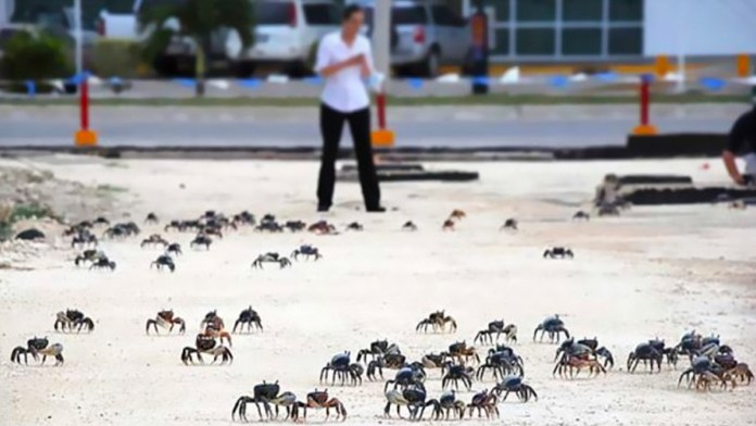Arranca temporada de cangrejo azul sin brigadas ciudadanas