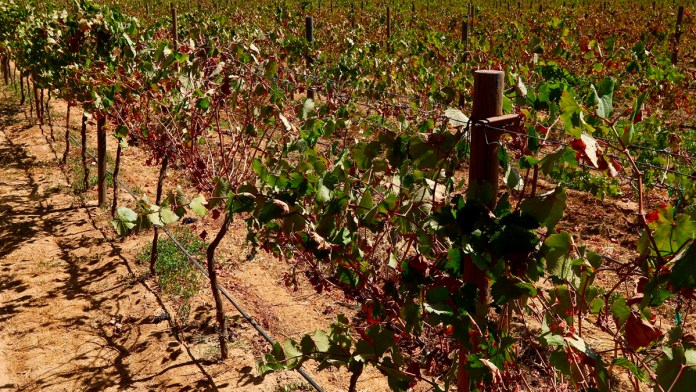 Peligra región vinícola por turismo y vivienda
