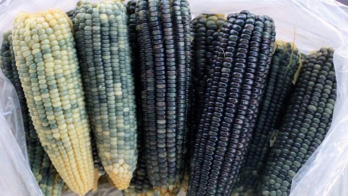Confirma Corte veto a maíz transgénico
