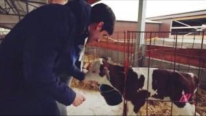 Lev, calf, Russian dairy farm