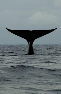baleine au large du cap