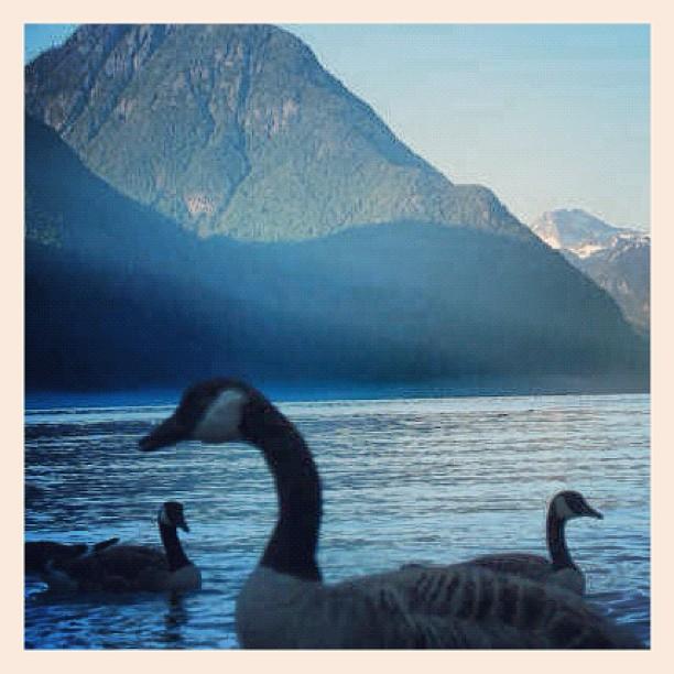 A few geese on the Pitt Lake (Maple Ridge/Pitt Meadows)