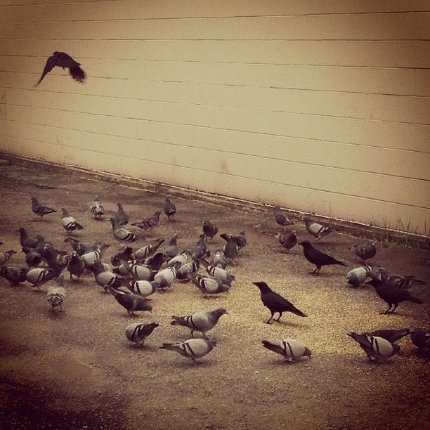 Pigeons eat some grains outside a building on 119 Street in Maple Ridge