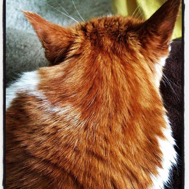 The always attentive, orange & white Mr. Tom