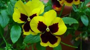 Yellow maroon