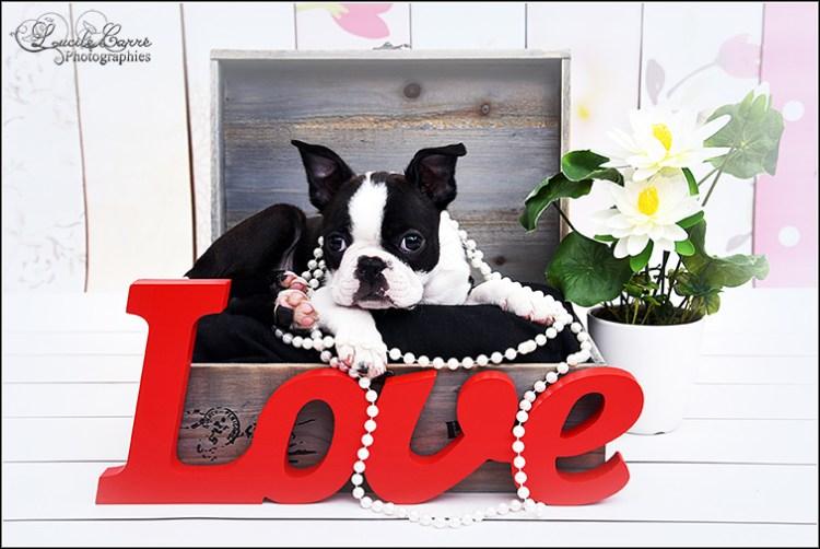 Photographe animalier Sarthe - Bébé boston terrier