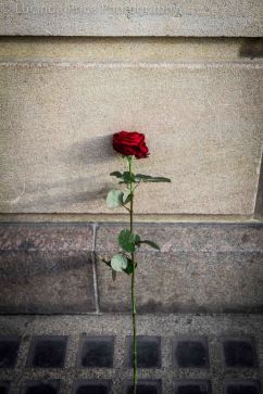 lucinda price photography red rose