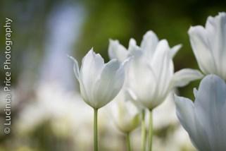 tulips-11