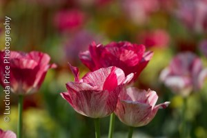 Lucinda Price Photography Cambridge Tulips christ's piece