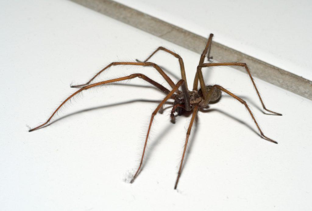 Домашние пауки картинки
