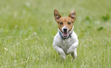 Rocket Recalls: Getting Your Dog to Come