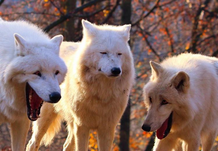 Laughing Wolves