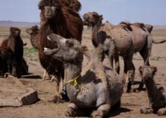 Bactrian camels, Gobi desert