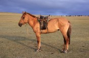 Nomad's horse in Tsambagarav Uul National Park, in colour