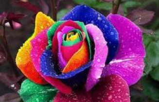A Beautifully Multi Coloured Rose