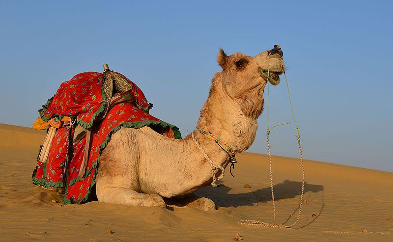 Dromedary_in_Thar_desert.jpg