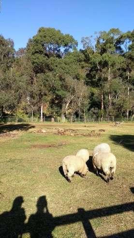Due ombre che osservano le pecore nel verde